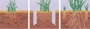 Turfgrass in compacted soil (left) grows slowly, lacks vigor and becomes  thin or does not grow at all. Core aeration (center) removes small cores of soil, depositing them on  the surface of the turf. This improves the depth and extent of turfgrass rooting (right), and it can  help save money on your water bill.